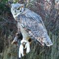 Great Horned with Ermine
