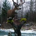 Pedestal Blacktail