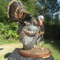 Strutting Turkey