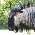 Blue Wildebeest side view